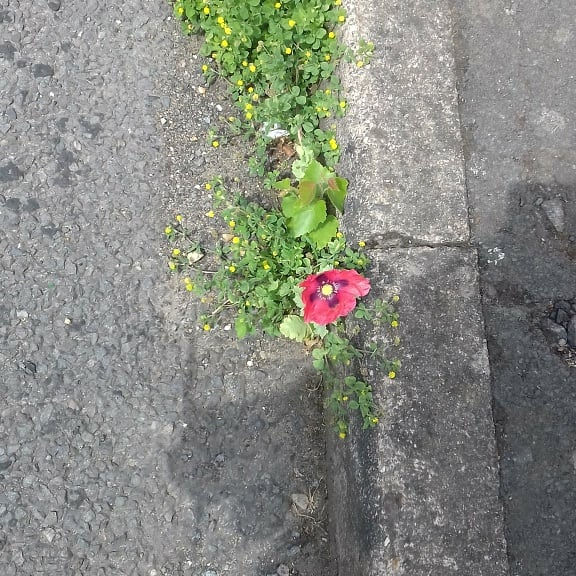 Red flower bursting through concrete, They Tried To Bury Us Poem